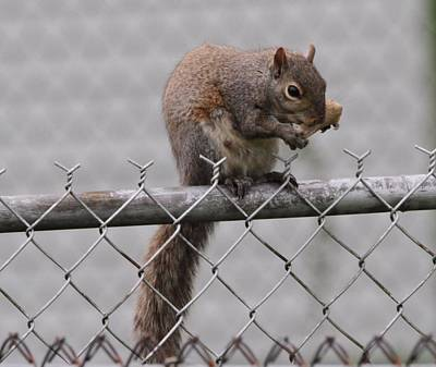 Squirell Snacking On The Fence Poster by Dan Sproul