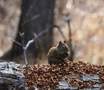 Squirrel On A Log At Fish Creek  Poster by Michael Mckinney
