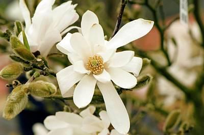 Star Magnolia (magnolia Stellata) Poster by Adrian Thomas