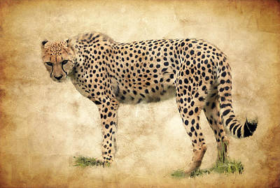 Stare Of The Cheetah Poster by Athena Mckinzie