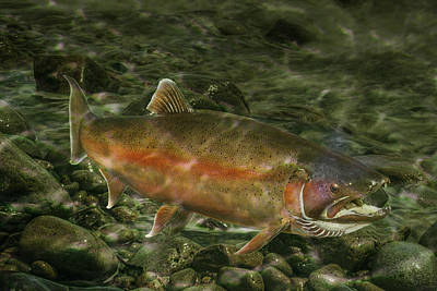 Steelhead Trout Spawning Poster by Randall Nyhof