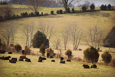Steers In Rolling Pastures - Kentucky Poster by Paulette B Wright