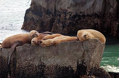 Steller Sea Lions Poster by Jim West