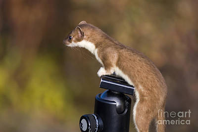 Stoat On Tripod Poster by Ron Sanford