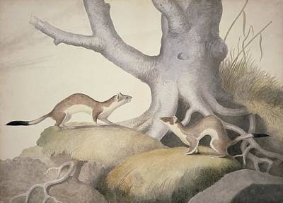 Stoats, 19th Century Artwork Poster by Science Photo Library