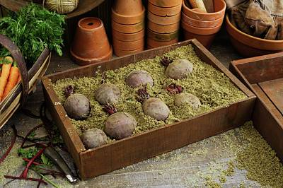 Storing Beetroots In Damp Sand Poster by Geoff Kidd