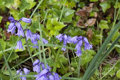 Stormy Wild Bluebell  Poster by Tim Rice