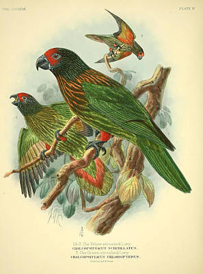 Streaked Lory Poster by J G Keulemans