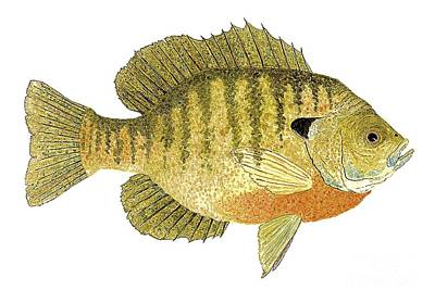 Study Of A Bluegill Sunfish Poster by Thom Glace