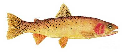 Study Of A Yellowstone Cutthroat Trout Poster by Thom Glace