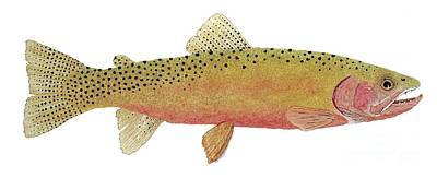 Study Of The Greenback Cutthroat Poster by Thom Glace