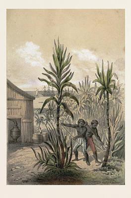 Sugar Can Farming, Sugarcane Plantation, Poaceae, Seed Poster by English School