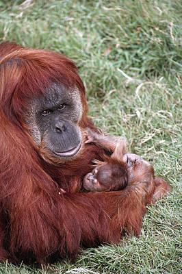 Sumatran Orangutan Mother Holding Baby Poster by San Diego Zoo