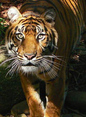 Sumatran Tiger Emerges Poster by Margaret Saheed