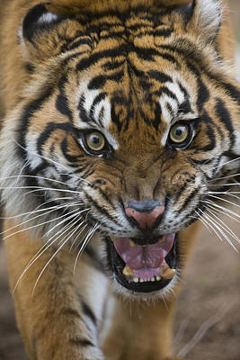 Sumatran Tiger Male Snarling Native Poster by San Diego Zoo