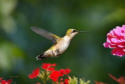Summer Hummingbird Poster by Christina Rollo