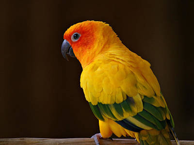 Sun Conure Parrot Poster by Sandy Keeton