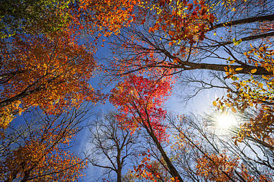 Sun In Fall Forest Canopy  Poster by Elena Elisseeva