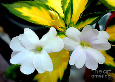 Sun Patiens Spreading White Variagated Poster by Kathy  White