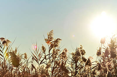 Sun Shining Over Reed Grasses Poster by Tetyana Kokhanets