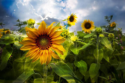 Sunflower Dream Poster by Debra and Dave Vanderlaan