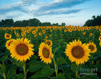 Sunflower Field At Sunrise Poster by Jack Nevitt