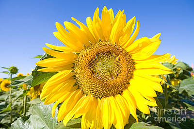 Sunflower, French Provence Poster by Adam Sylvester