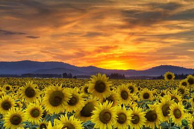 Sunflower Sunset Poster by Mark Kiver