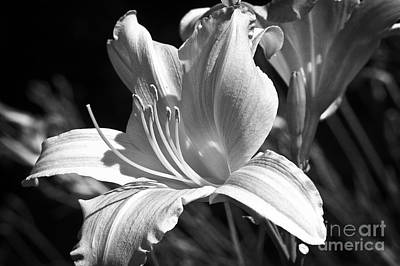 Sunlit Lily In Black And White Poster by Lee Craig