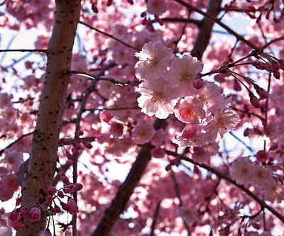 Sunlit Cherry Blossoms Poster by Rona Black