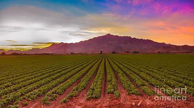 Sunrise Over Lettuce Field Poster by Robert Bales