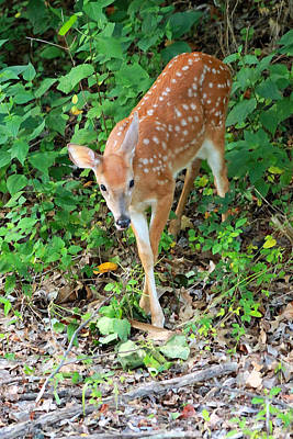 Surprised Fawn Poster by Lorna Rogers Photography
