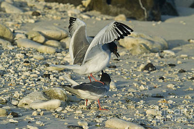 Swallow-tailed Gulls Mating Poster by William H. Mullins