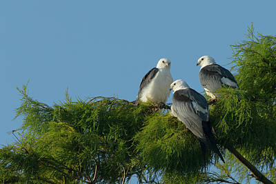 Swallow-tailed Kites Roosting Poster by Maresa Pryor