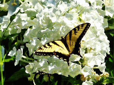 Swallowtail On White Hydrangea Poster by Susan Savad