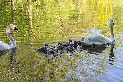 Swan Family Poster by Michael Mogensen