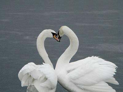 Swan Kisses Poster by Elizabeth Kohler