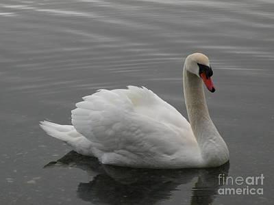 Swan  Poster by Val Carosella
