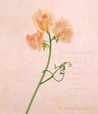 Sweet Pea Poster by Anne Geddes