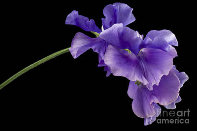 Sweet Pea Study Poster by Anne Gilbert