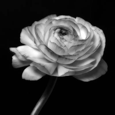 Black And White Roses Flowers Art Work Photography Poster by Artecco Fine Art Photography