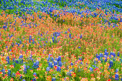 Symphony Of Wildflowers - Bluebonnet And Indian Paintbrush In Texas Poster by Ellie Teramoto