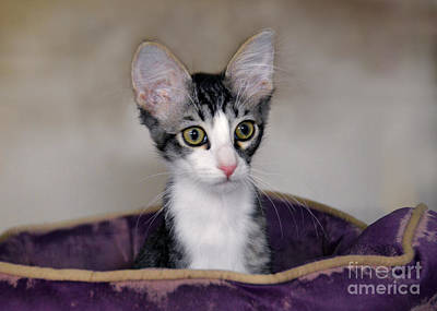 Tabby Kitten In A Purple Bed Poster by Catherine Sherman