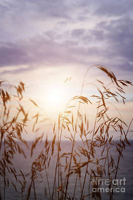 Tall Grass At Sunset Poster by Elena Elisseeva