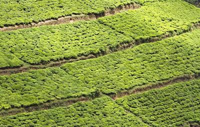 Tea Plantation, Rwanda Poster by Science Photo Library