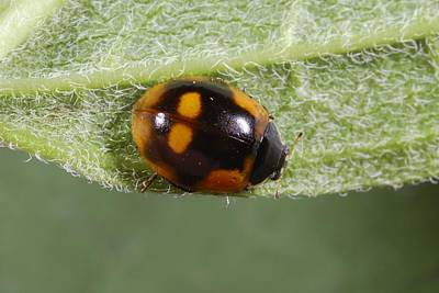 Ten-spot Ladybird Poster by Science Photo Library