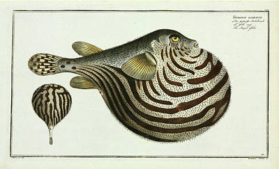 Tetrodon Lineatus (arothron Stellatus) Poster by Natural History Museum, London