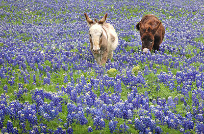 Texas Donkeys And Bluebonnets - Texas Wildflowers Landscape Poster by Jon Holiday