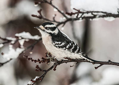 Thanksgiving Day Downy Woodpecker Poster by Lara Ellis