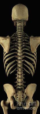 The Axial Skeleton Poster by Science Picture Co